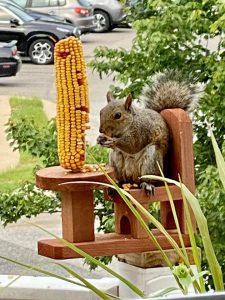 A squirrel sitting on a wooden feeder eating a corn cob