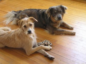 Two dogs, one blond, one brown, lying on a wood floor