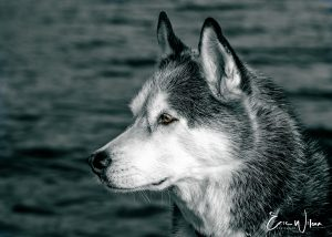 Black and white profile of a wolf