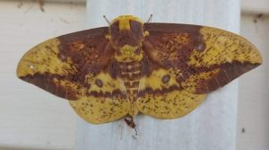 A yellow and brown moth on a post