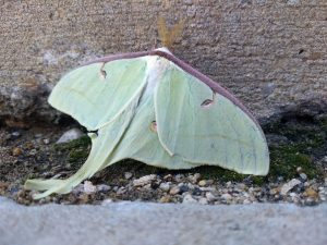 Green moth on the ground
