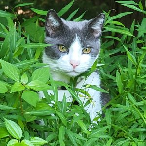grey and white cat in the grass