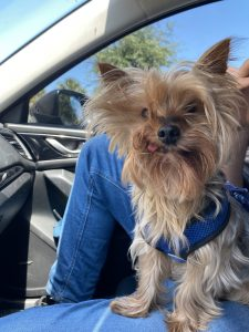 Small brown dog on a person's lap in a car