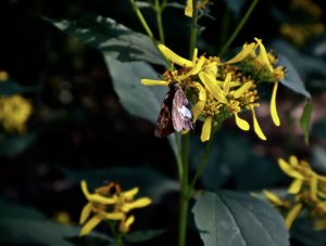 Brown moth sitting on yellow flowers