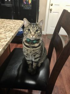 Calico cat sitting on a barstool at a kitchen counter